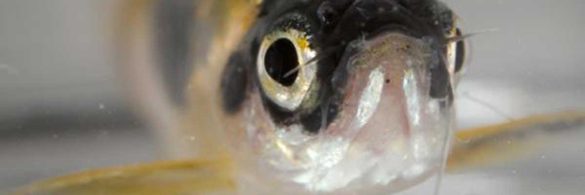 Portrait of a live zebrafish with dark patterning around and above the eyes