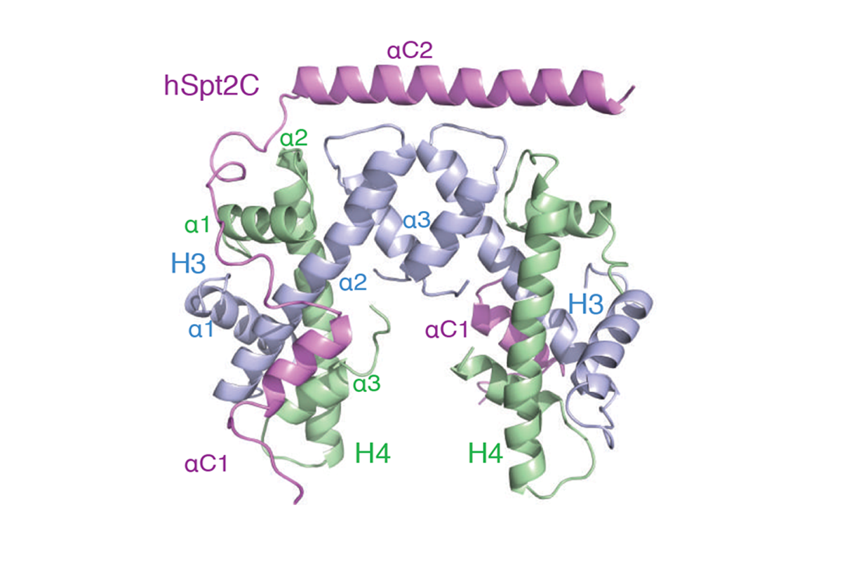 Structure-function studies of histone H3/H4 tetramer maintenance during transcription by chaperone Spt2