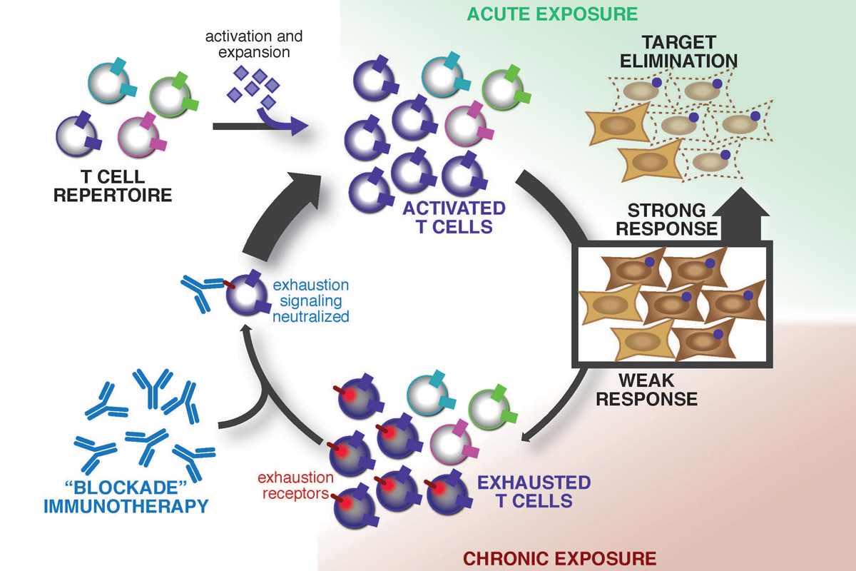 infographic of immune activation and exhaustion