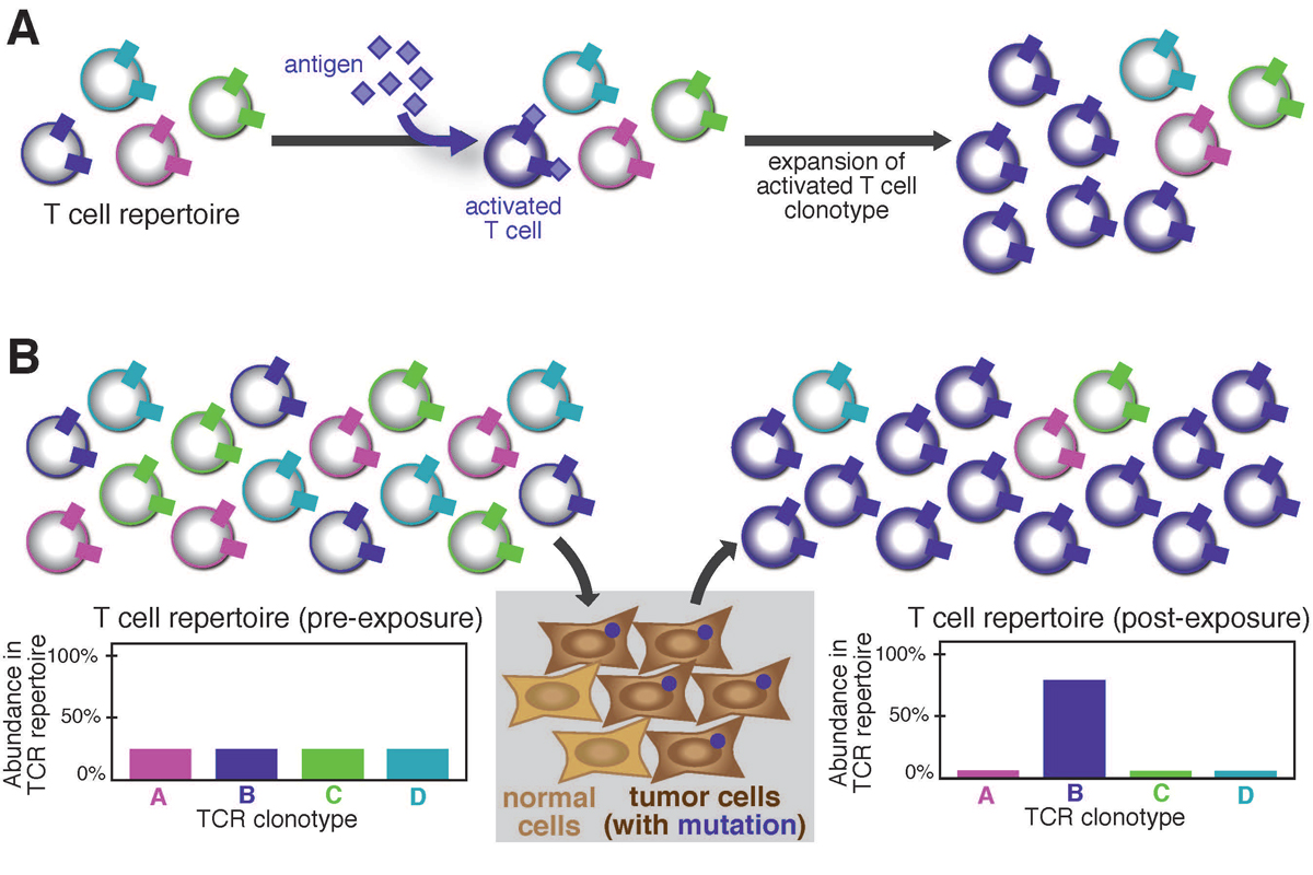 diagram of Expansion of tumor-specific T cells