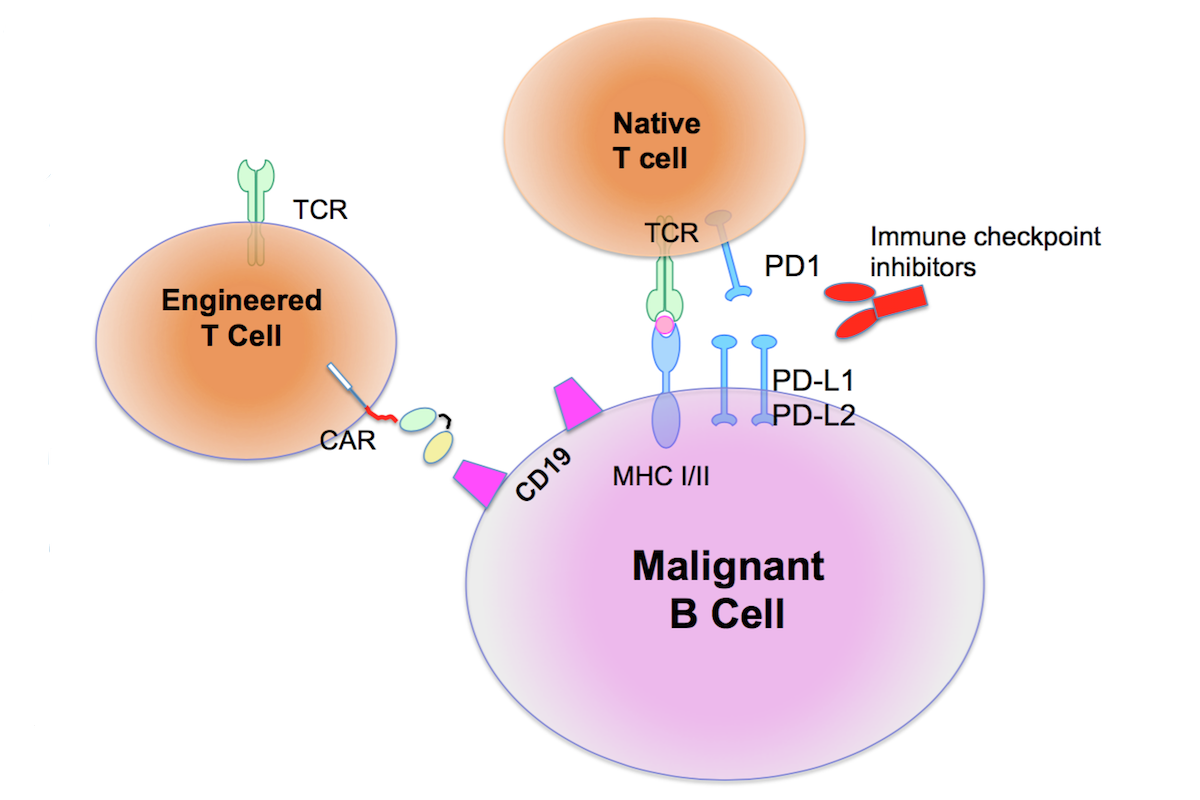 Diagram showing a combination treatment strategy using native T cells and engineered T-cells to attack a malignant B cell. All three are ovals, with receptors on the surface of the two T cells engaging with receptors on the surface of the B cell.