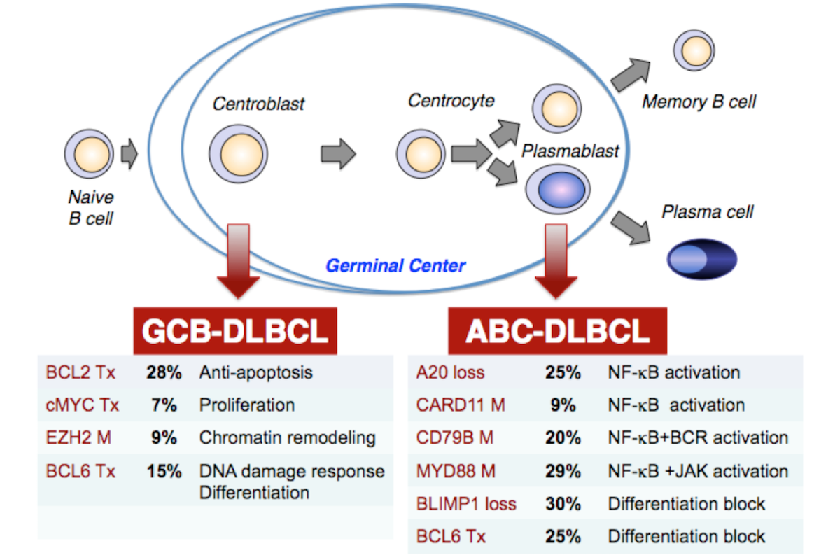 Diagram showing a B cell progressing through development (from left to right) eventually into memory B cell or plasma cell. Below is listed different genetic mutations that can turn cells cancerous at various stages of development.