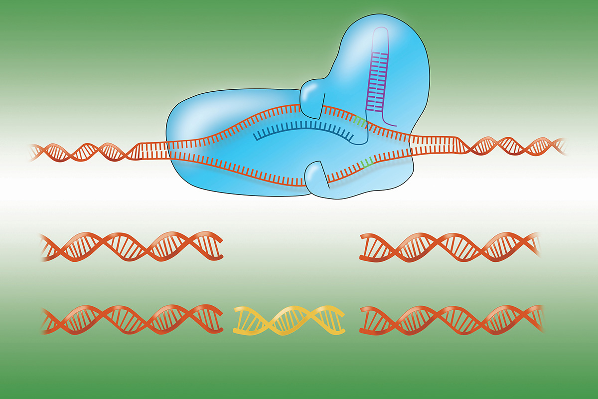 An illustration the CRISPR-Cas9 genome-cutting system