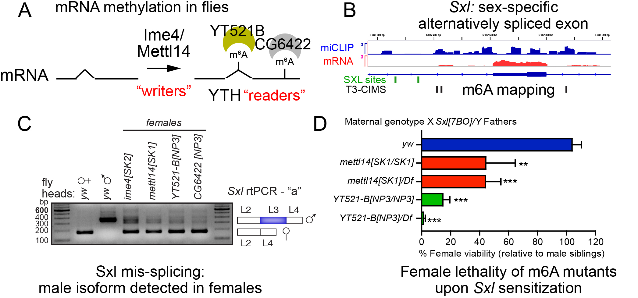 Figure 3. Drosophila m6A pathway. (A) m6A writers and readers. (B) Mapping of m6A modifications (miCLIP track) relative to mRNA-seq identifies extensive modification in the intronic regions (CIMS, nt-precision m6A sites) flanking the sex-specifically alternatively spliced exon of Sxl, the master female determinant. (C) rt-PCR tests reveal accumulation of the male isoform of Sxl in various m6A mutant females. (D) m6A mutant females exhibit lethality when made heterozygous for Sxl, indicating failure of the Sxl autoregulatory program.