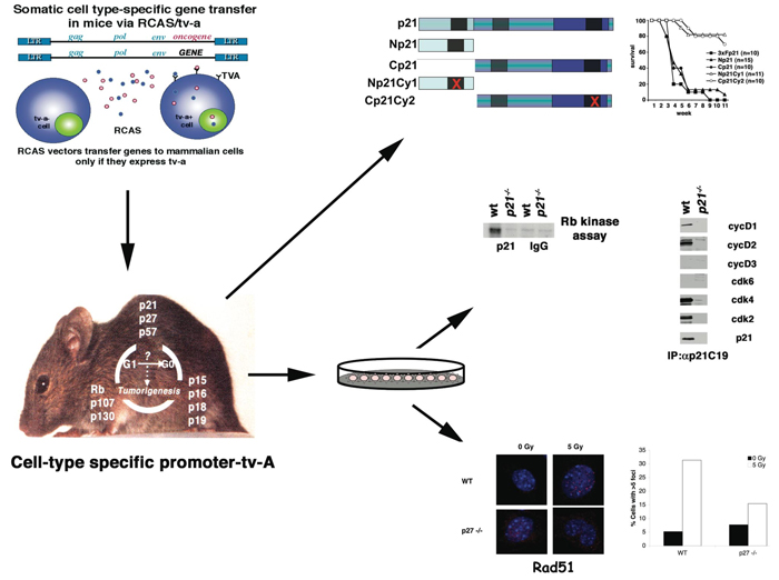 The RCAS/Tv-A model combined with knockout mice allows us to carry out structure-function analysis and link biochemical and cellular changes directly to the phenotype of interest. Combining the RCAS/Tv-A system with the concept of rescuing phenotype in null mice allows us to use structure-function analysis to probe how proteins participate in tumor development.