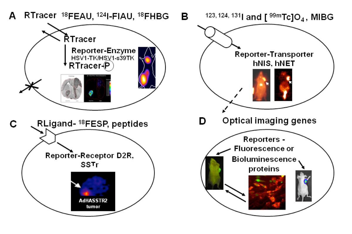 The reporter imaging genes and their tracers -- The reporter imaging genes and their tracers. A general paradigm for noninvasive reporter-gene imaging using radiolabeled probes and fluorescence/bioluminescence imaging is diagrammatically presented. This paradigm requires the appropriate combination of a reporter transgene and a reporter probe. The reporter transgene product (a protein or enzyme) selectively interacts with a specific radiolabeled probe and results in its accumulation only in transduced cells. Alternatively, the enzyme (e.g., luciferase) will catalyze a reaction to yield light (photons) in the presence of substrate. Alternatively, the reporter gene product can be fluorescent protein that can be imaged in vivo as well as ex vivo.