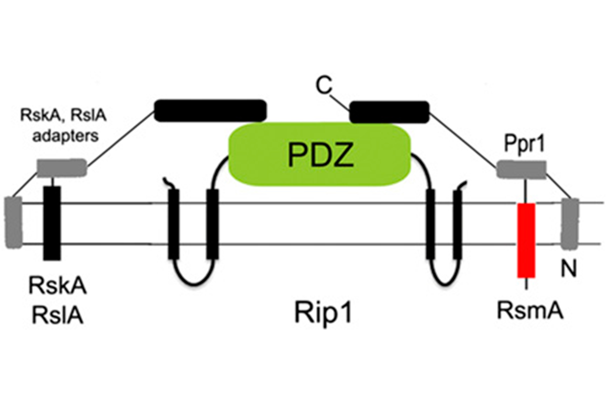 Adapter protein model of Rip1 substrate specificity