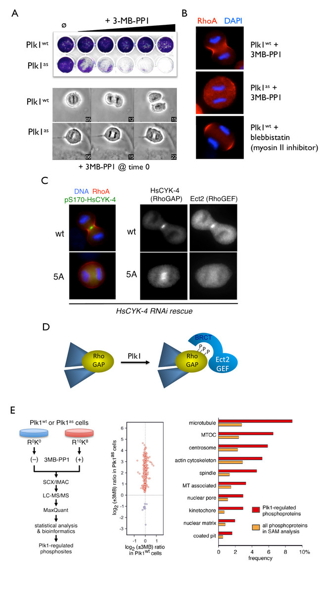 Exploiting chemical genetics for functional analysis of mitotic kinases and substrate discovery.  A, Selective inhibition of analog-sensitive (as) Plk1 using the bulky purine analog 3MB-PP1.  B,  Acute inhibition of Plk1-as at the metaphase/anaphase transition prevents equatorial RhoA GTPase activation and initiation of cytokinesis (Burkard et al., PNAS (2007)).  C-D, Plk1 phosphorylates a spindle midzone-specific RhoGAP to create a docking site for the RhoGEF Ect2 (Burkard et al., PLoS Biology (2009)).  E, High-confidence discovery of novel Plk1 substrates through chemical genetics and quantitative phosphoproteomics (Oppermann et al., Mol Cell Proteomics (2012)).