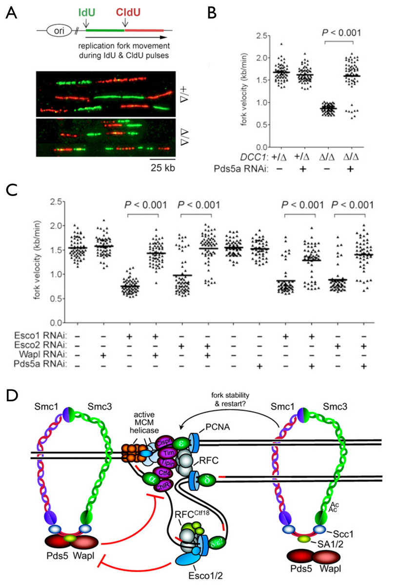 Cohesion establishment exerts feedback control on replication fork dynamics.  A-B, Analysis of nascent replication tracts in control and DCC1-/- (RFC-Ctf18 deficient) human cells.  C, The cohesin acetyltransferases Esco1 and Esco2 promote replication fork progression by counteracting the 'anti-establishment' factors Wapl and Pds5a.  D, model (see Terret et al., Nature (2009) and Sherwood et al., Genes Dev. (2010)).