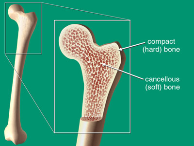 Two white arrows pointing to a compact (hard) bone versus a cancellous (soft) bone.