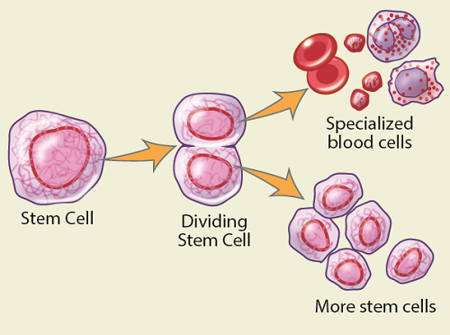 Your stem cells divide and change into the different types of blood cells in your body.
