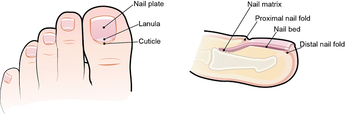 Figure 1. Nail anatomy