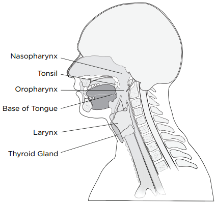 Figure 1: Structures of the head and neck