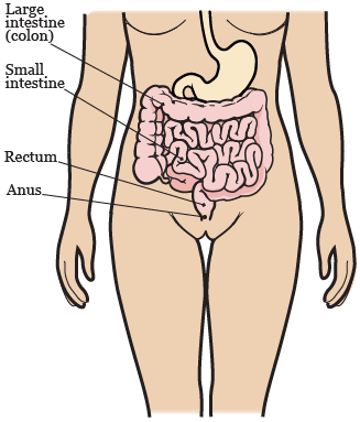 Figure 2. Your gastrointestinal system