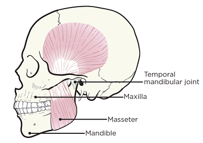 Figure 1. The bones and muscles of the jaw