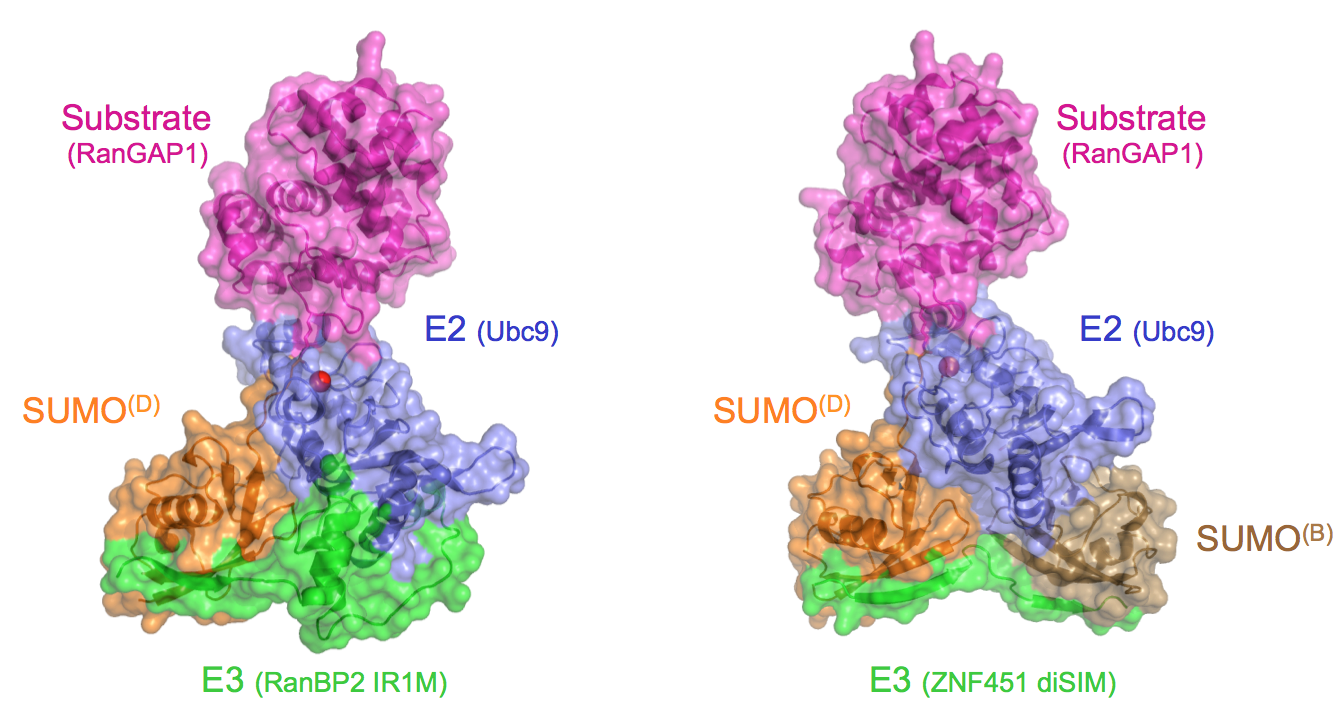 E2 recognition of RanGAP1 in complexes with SIM E3 ligases