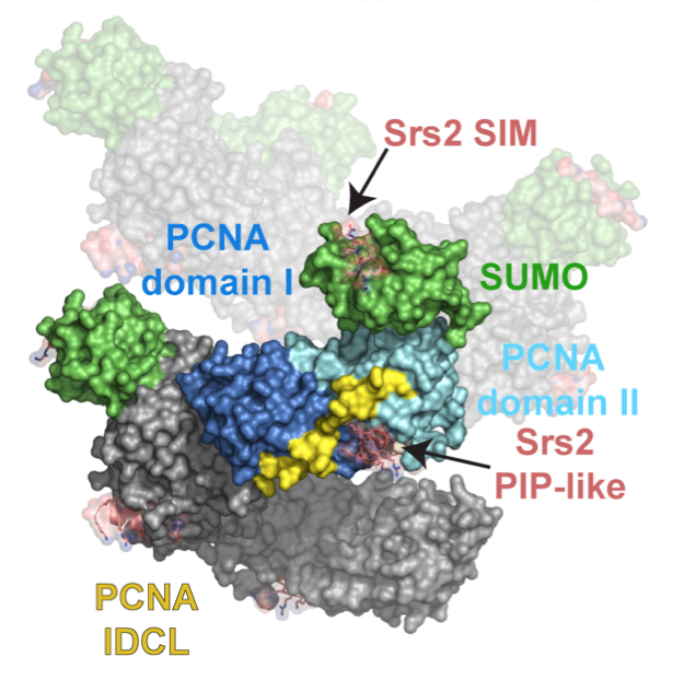 Recognition of SUMO-PCNA by the Srs2 helicase
