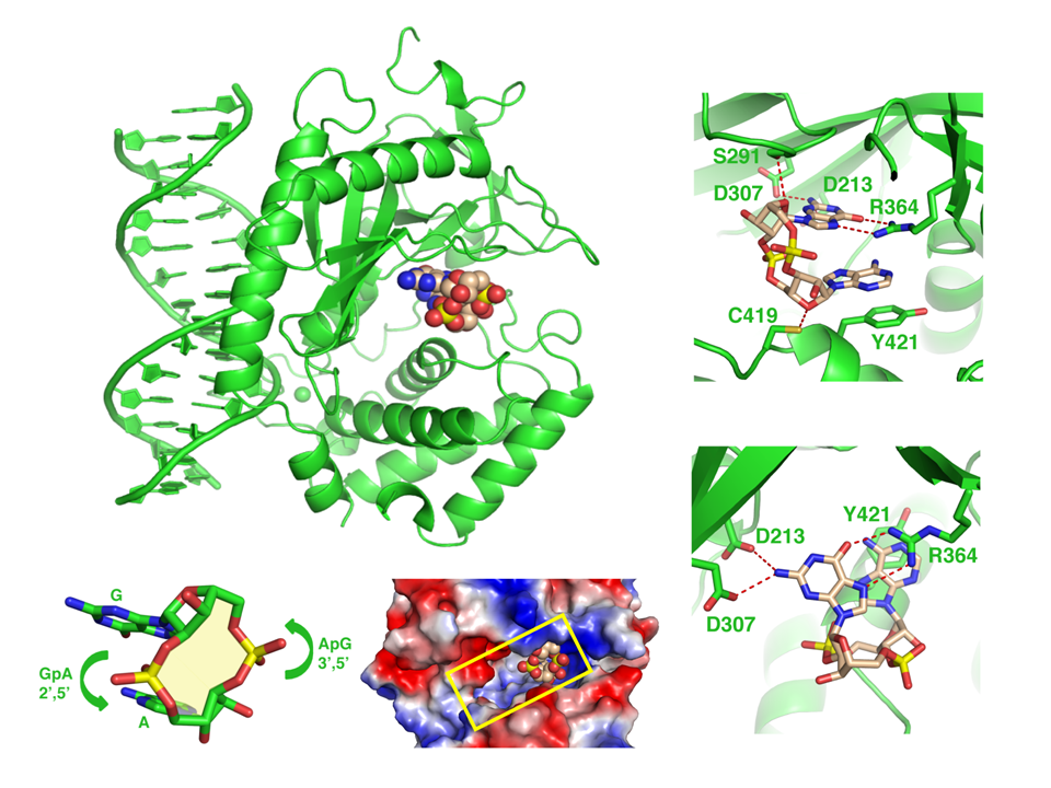 Cyclic [G(2',5')pA(3',5')p] is the Metazoan Second Messenger Produced by DNA-Activated Cyclic GMP-AMP Synthase