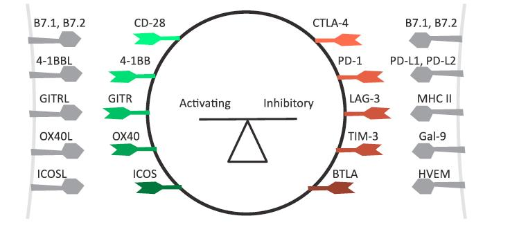 Figure 2. -- T cell activation is regulated by activating and inhibitor receptors. (8)
