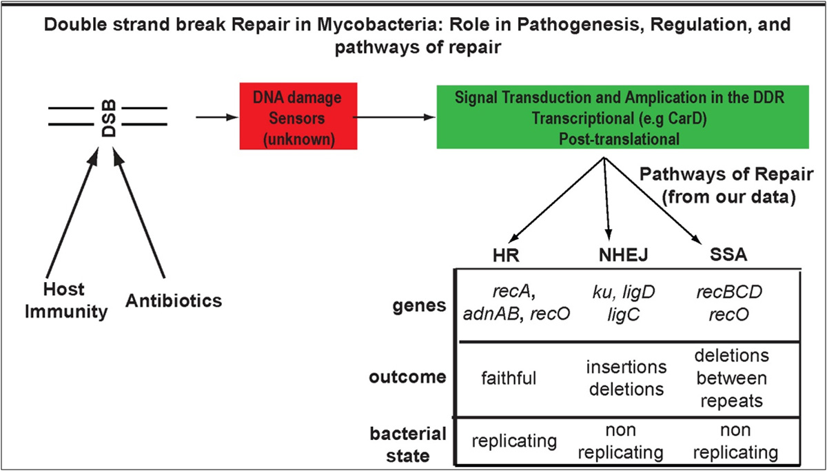 Double strand break repair in mycobacteria -- DSBs are induced by host immunity or ROS from antibiotics, are sensed through mechanisms that are not understood, and generate a DNA damage response, some of which is transcriptional, but the full complement of signal amplification mechanisms have not been explored. We have defined three pathways of DSB repair with distinct molecular participants, mutational outcomes, and requirement for homologous DNA.