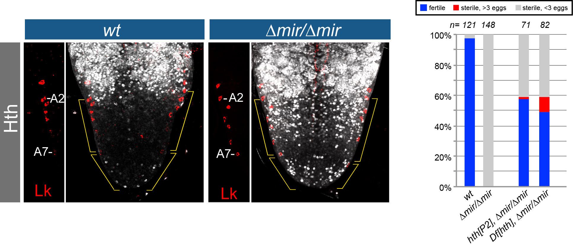 Figure 2. Stringent in vivo target regulation by a neural miRNA. (Left) Shown are abdominal ventral nerve cords in wildtype and knockout of mir-iab-4/8 (∆mir) stained for Lk (to register segments) and for the miRNA target Hth. There is massive derepression in the miRNA knockout. (Right) Behavioral defect in ∆mir is largely attributable to derepression of Hth. In contrast to wt, ∆mir almost completely fails to lay eggs after mating. Heterozygosity for hth, achieved by two different alleles, strongly rescues this defect.