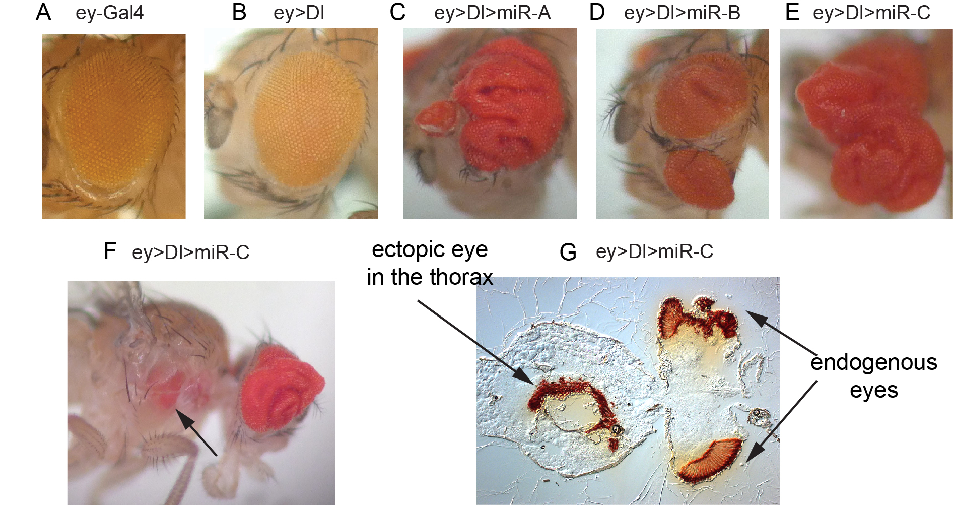 Figure 3. In vivo miRNA misexpression genetic screen. (A-E) Adult eyes that contain driver alone (A), express the Notch ligand Dl (B), or that coexpress Dl with different miRNAs that result in vast expansion of eye tissue (C-E). (F) Example of Dl-miRNA synergisms that yields migration of eye tissue to a distant location. (G) Sectioning confirm the presence of an ectopic eye in the thorax.