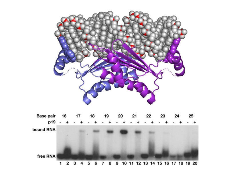 Viral p19 Protein Measures siRNA Length