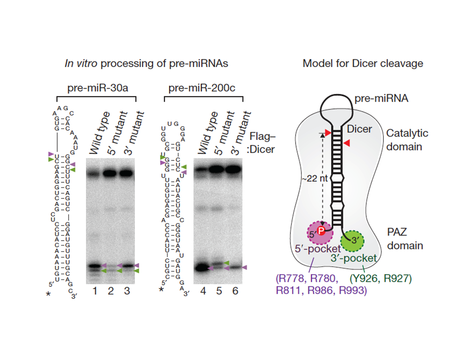 Dicer Recognizes the 5'-end of RNA for Efficient and Accurate Processing