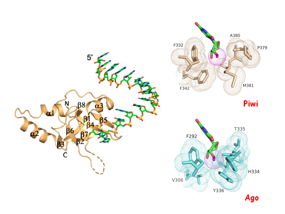 Structural Basis for piRNA 2'-O-Methylated 3'-End Recognition by the PAZ Domain of Piwi Protein