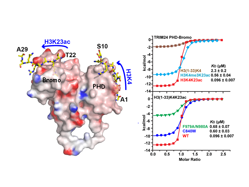 TRIM24 Links a Non-Canonical Histone Signature to Breast Cancer