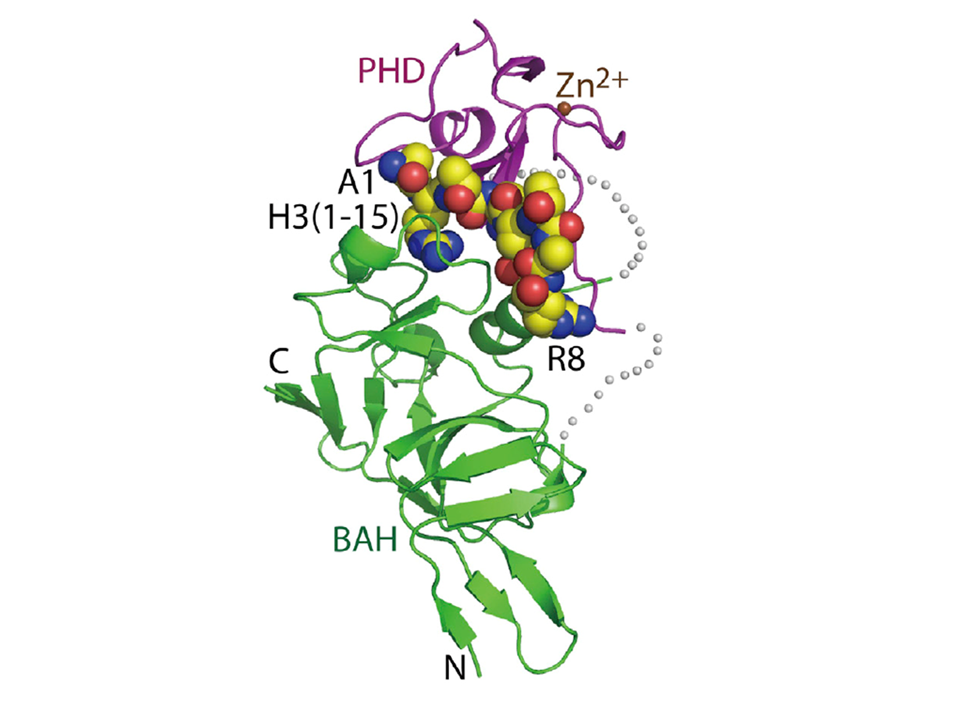 Structural basis for the unique combinatorial readout of unmodified H3 tail by Arabidopsis ORC1b BAH-PHD cassette
