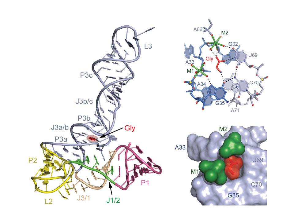 Ligand recognition by the sensing domain of the cooperative glycine riboswitch