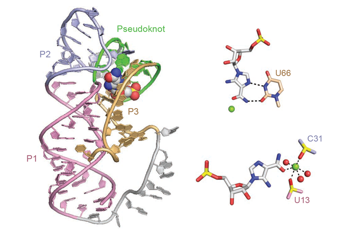 Global RNA Fold and Molecular Recognition for a pfI Riboswitch Bound to ZMP, a Master Regulator of One Carbon Metabolism