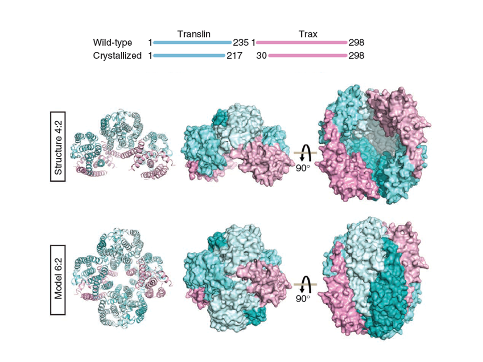 Multimeric Assembly of the Trax/Translin Endonuclease Complex