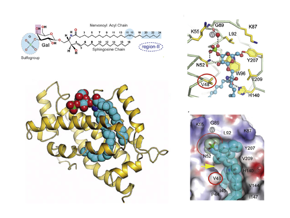 Enhanced Selectivity for Sulfatide by Engineered Human Glycolipid Transfer Protein