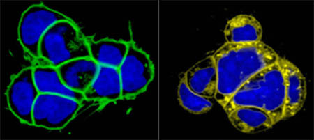 Live imaging nucleus and membrane in mouse embryonic stem (ES) cells.