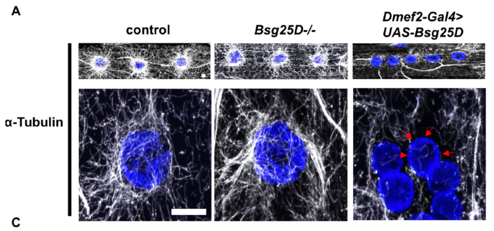 Overexpression of Bsg25D (Ninein) affects microtuble organization and myonuclear positioning in the Drosophila larval muscles.