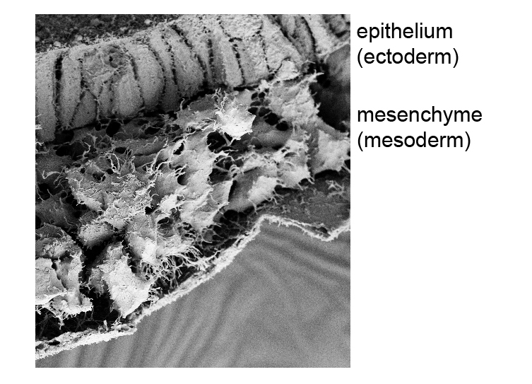 Figure 3.  A scanning electron micrograph (SEM) showing the transformation in morphology between cells in the epiblast and the mesoderm. The mesodermal cells arise from the gastrulation EMT and migrate around the entire circumference of the embryo.