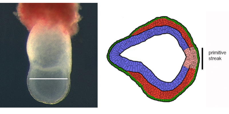 Figure 2.  The primitive streak in the e7.5 embryo (left) forms at a single position at the posterior of the embryo embryonic circumference, where Wnt, Nodal and Fgf signals converge. Under the influence of these signals, cells change their fate from ectodermal to mesoderm/endoderm and change their cellular organization from epithelial to mesenchymal.