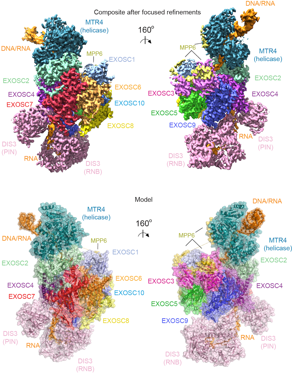 Cryo-EM densities and model for a human nuclear MTR4-exosome complex