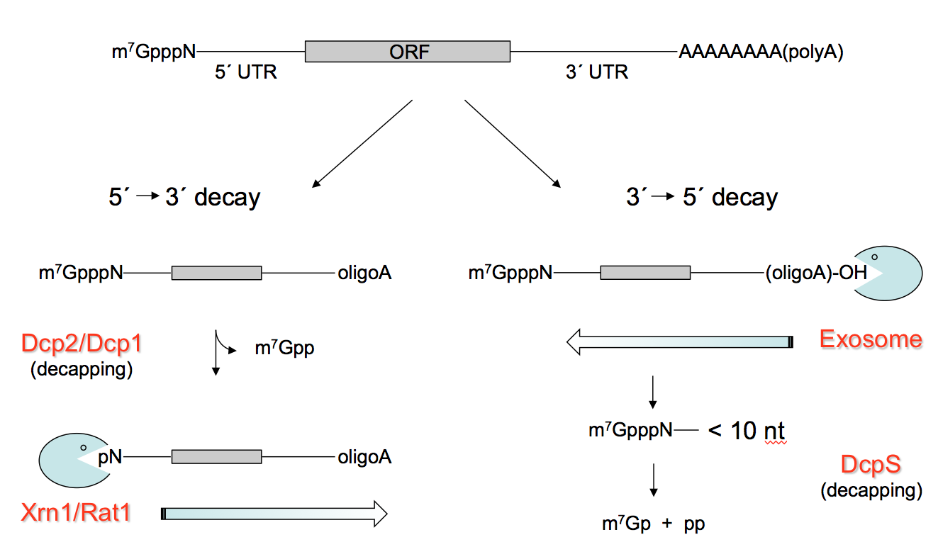 Deadenylation-dependent RNA decay in eukaryotes