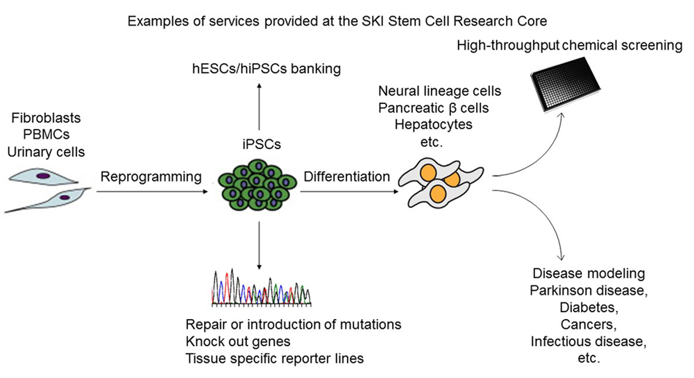 Examples of services provided at the SKI Stem Cell Research Core