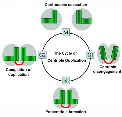 Cycle of Centriole Duplication