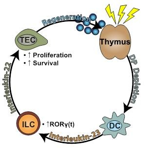 IL22 pathway in thymic recovery