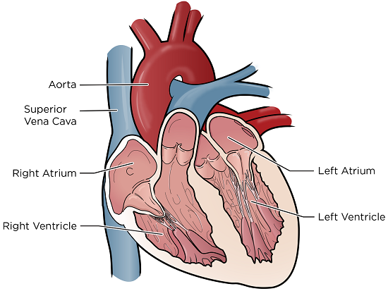 Figure 1. The 4 chambers of your heart