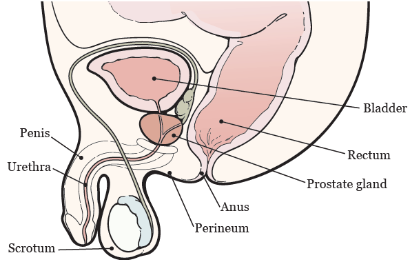 Figure 1. Your prostate anatomy