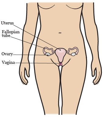 Figure 2. Your gynecologic system