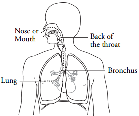 Figure 1. The path of the bronchoscope during your bronchoscopy