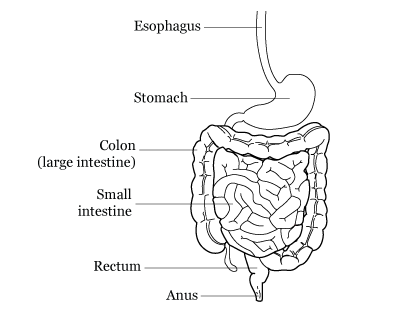 Figure 1. The digestive system