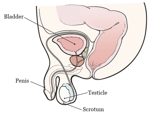 Figure 1. Your reproductive system